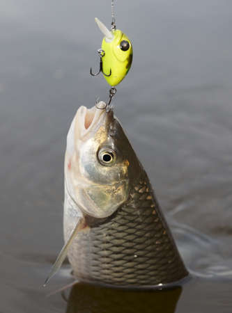 Chub caught on a green hardbait being pulled out of water Stock Photo - 8003495