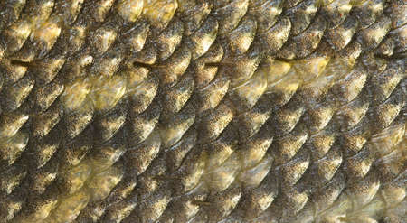 Scales of pike, macro shot, natural background photo