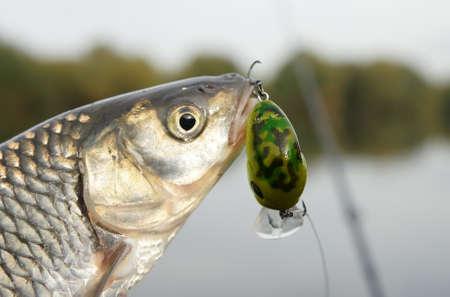 Chub caught on a green hardbait against river landscape Stock Photo - 8003523