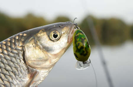 Chub caught on a green hardbait against river landscape Stock Photo - 8003523