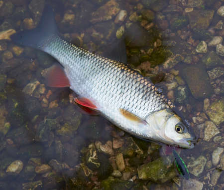 roach: Chub caught on a hardbait lying in water