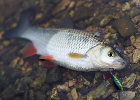 Chub caught on a hardbait lying in water photo