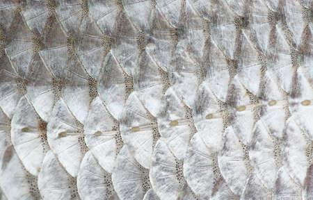 escamas de peces: Macro foto de piel de pescado de cucarachas, la textura natural, la línea lateral se ve