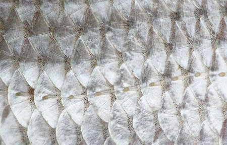 Macro shot of roach fish skin, natural texture, lateral line is seen Stock Photo - 12862502