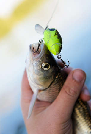 Chub caught on spinning bait in fisherman's hand photo
