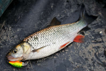 Chub caught on plastic lure lying in boat photo