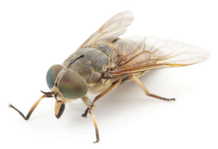 gnat: Live horsefly isolated on white background with shadow Stock Photo