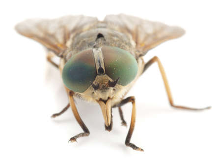 horsefly: Live horsefly isolated on white background with shadow Stock Photo