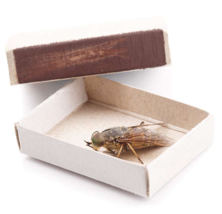 horsefly: Live horsefly sitting in matchbox isolated on white background