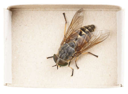 Live horsefly sitting in matchbox isolated on white background Stock Photo - 15149525