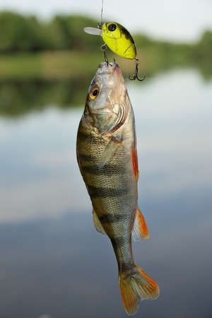 Perch caught on plastic lure agains the landscape photo