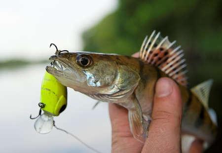 Small walleye in fisheman's hand, close-up 免版税图像