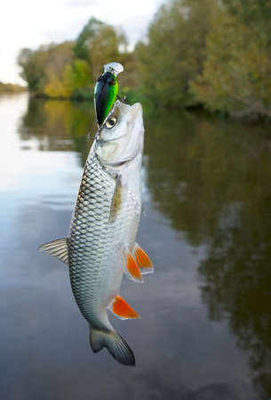 Chub caught on plastic lure against water and sky  Stock Photo - 16103198