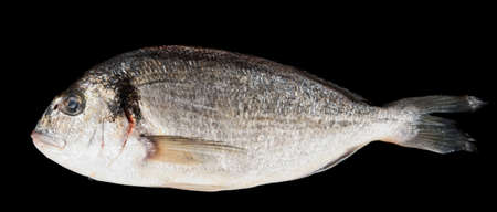 gilthead bream: Dorade gilthead bream isolated on black background