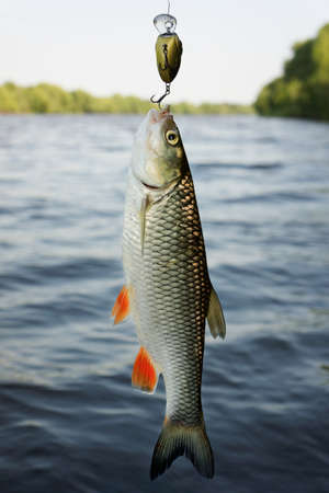 Chub caught on plastic lure against water and sky  photo