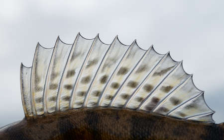 Dorsal fin of a walleye (pike-perch)  close-up photo