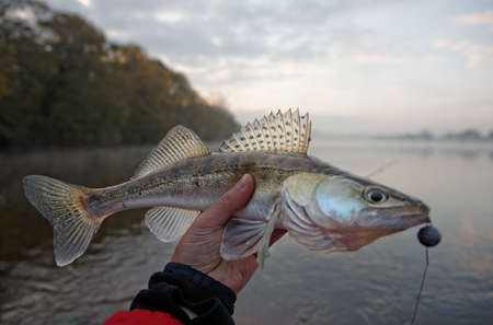 walleye: Walleye caught on handmade jig lure in autumn morning Stock Photo