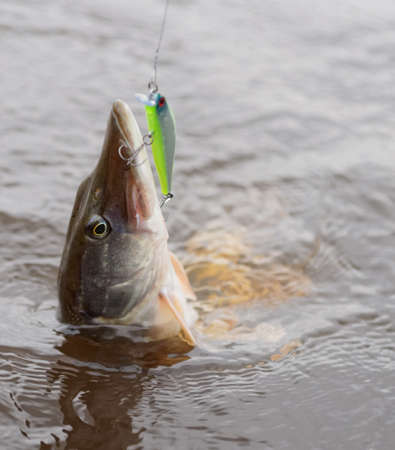 pike: Northern pike on hook in water