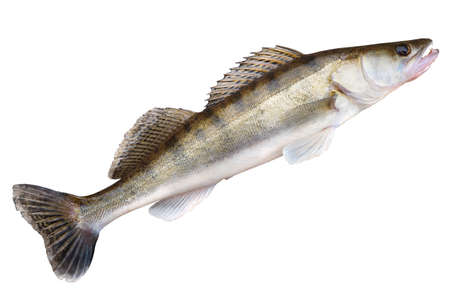 walleye: Walleye (pike-perch) lying on concrete floor isolated on white with clipping path