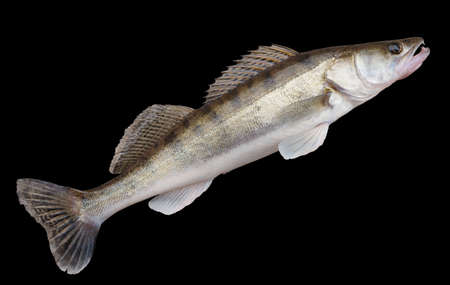 walleye: Walleye (pike-perch) lying on concrete floor  isolated with clipping path