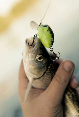 chub: Chub caught on spinning bait in fishermans hand