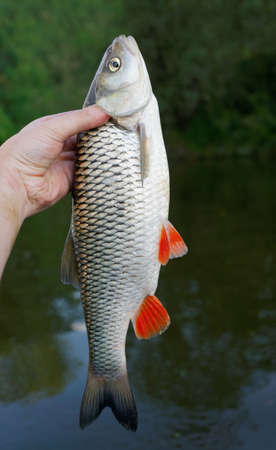 roach: Big chub in fishermans hand against river shore Stock Photo