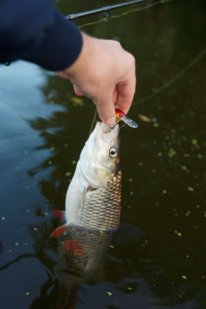 chub: Chub in fishermans hand half-immersed in water