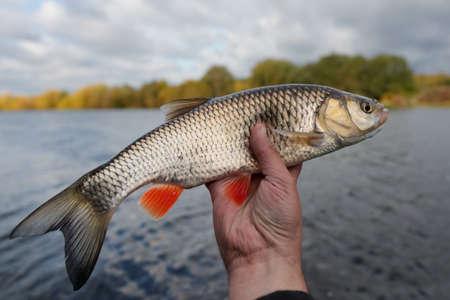 chub: Nice chub in fishermans hand