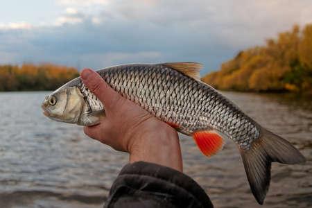 escamas de peces: Chub en mano, pintorescos otoño de pescadores