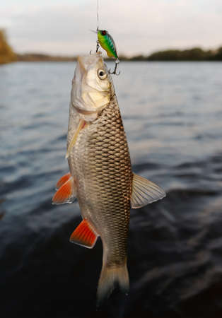chub: Chub caught on a plastic bait, autumn scenics
