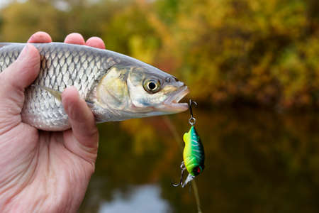 hooked up: Chub with plastic bait in mouth, copy space