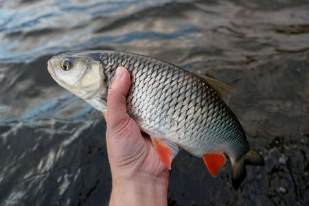 chub: Chub in fishermans hand against water surface