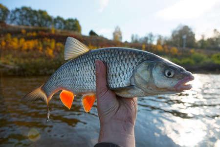 chub: Really big chub in fishermans hand, lens flares
