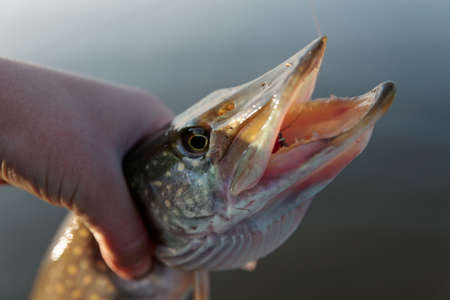 northern pike: Northern pike in fishermans hand, small depth of field