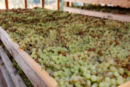 vino: Drying grapes for making Vino Santo, famous Italian dessert wine