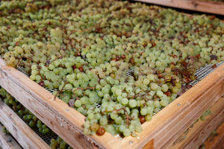 vino: Drying grapes for making Vino Santo, Italian dessert wine