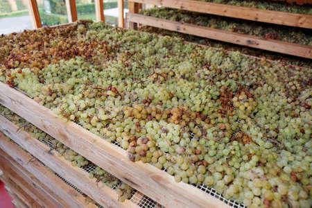 vino: Drying Nosiola grapes for making Vino Santo, Italian dessert wine
