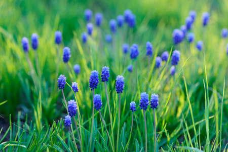 florecitas: Flores de la primavera azules. peque�o foco de profundidad