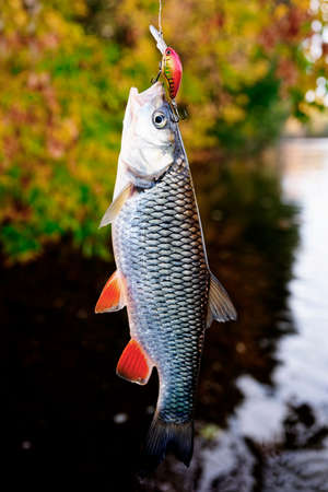 chub: Chub caught on a plastic bait, autumn scenics, toned image