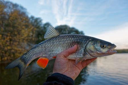 chub: Chub in fishermans hand, autumn catch