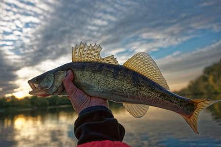 walleye: Walleye in fishermans hand