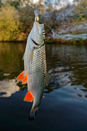 late fall: Chub with plastic bait in mouth against river landscape, late fall