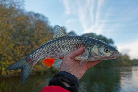 chub: Chub in fishermans hand, late autumn Stock Photo