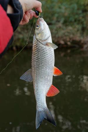 chub: Chub caught on a plastic bait Stock Photo