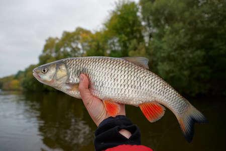 chub: Chub in hand against autumn river landscape Stock Photo
