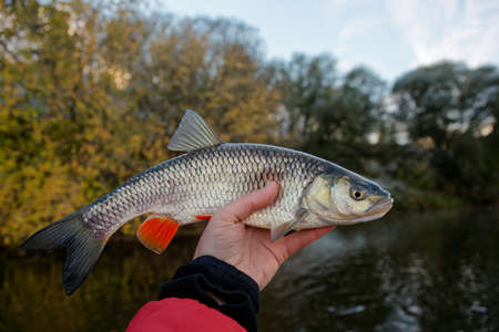 roach: Chub in fishermans hand, late autumn Stock Photo
