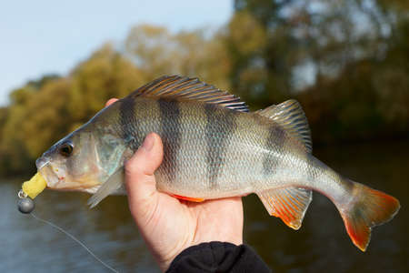 the perch: Perch caught on sunny autumn day Stock Photo