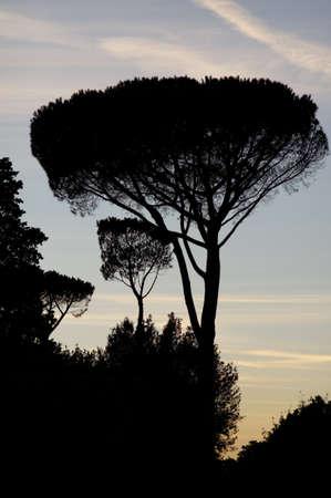 dark skies: Big tree silhouette shot at sunset