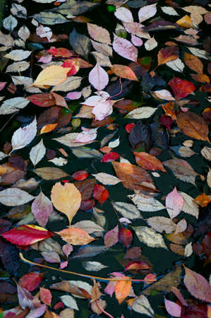 multycolored: Multy-colored automn foliage in water