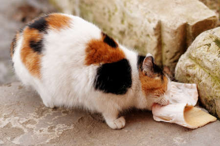 pig skin: Stray cat is eating pig skin outdoors